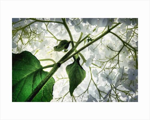 Hydrangeas in my Garden by Andrzej Bochenski