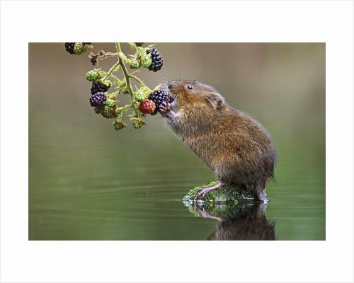 Ratty Breakfast by Simon Roy
