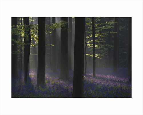 The Purple Carpet and Black Trees by Gerard Leeuw