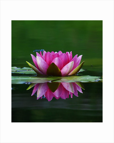 Water lily by Tony Keene
