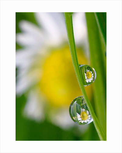 Daisies on Dewdrops by Alan Bryant