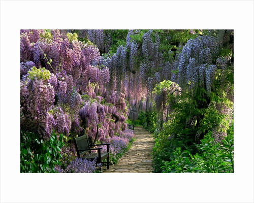 Wisteria Walk at Hermannshof, Germany by Jerry Harpur