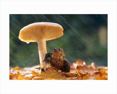 Toad in the Rain by David Chapman