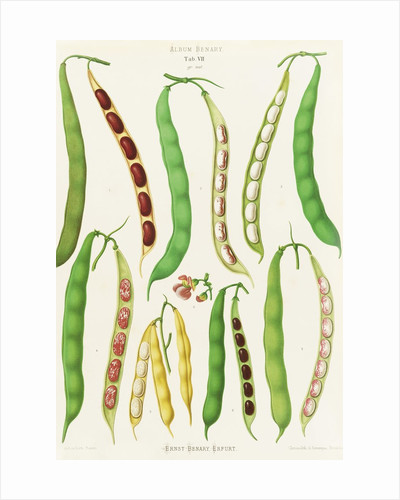 Beans - Dwarf French, Kidney or Snap by Ernst Benary