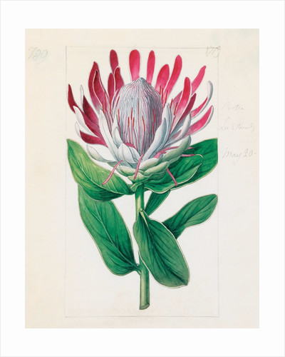 Protea formosa. Crown-Flowered Protea by Sydenham Teast Edwards