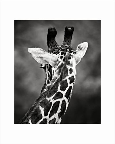 Giraffe by Antonio Busiello