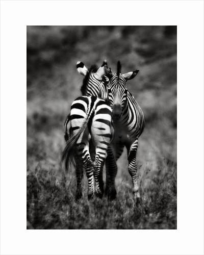 Zebras by Antonio Busiello