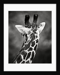 Giraffe by Antonio Busiello