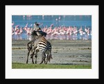 Zebras Fighting by Antonio Busiello