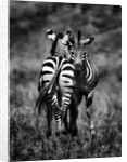 Zebras by Antonio Busiello