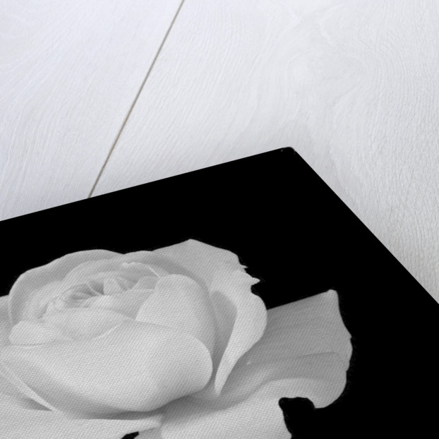 White rose flower close-up by Assaf Frank