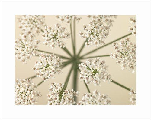 Cow Parsley close-up by Assaf Frank
