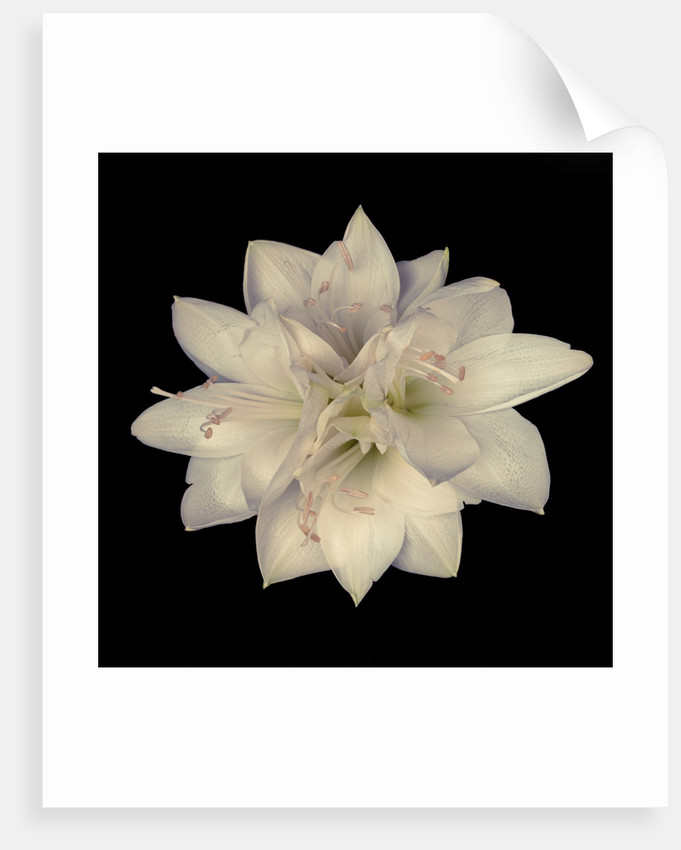 Star shape amaryllis flowers by Assaf Frank