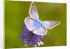 Butterfly White Blue by Assaf Frank