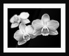 Close-up of white Orchids by Assaf Frank