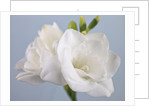 Close-up of White Freesias by Assaf Frank