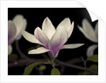 Magnolia flowers by Assaf Frank