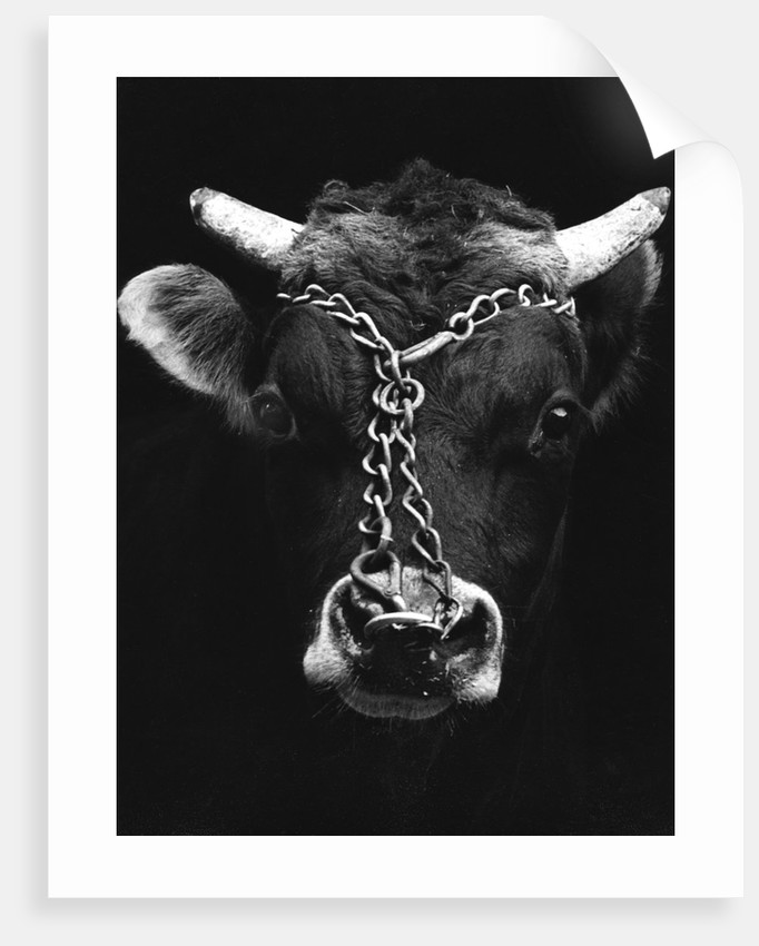 Chained bull by Tony Boxall
