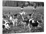 Hunting with beagles, c1960s by Tony Boxall
