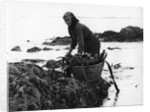 Gathering seaweed, Portugal, c1960s by Tony Boxall