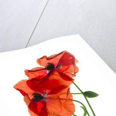 Margie's Poppy Duo by Julia McLemore