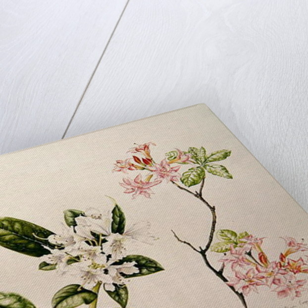 Rhododendron by Alison Cooper