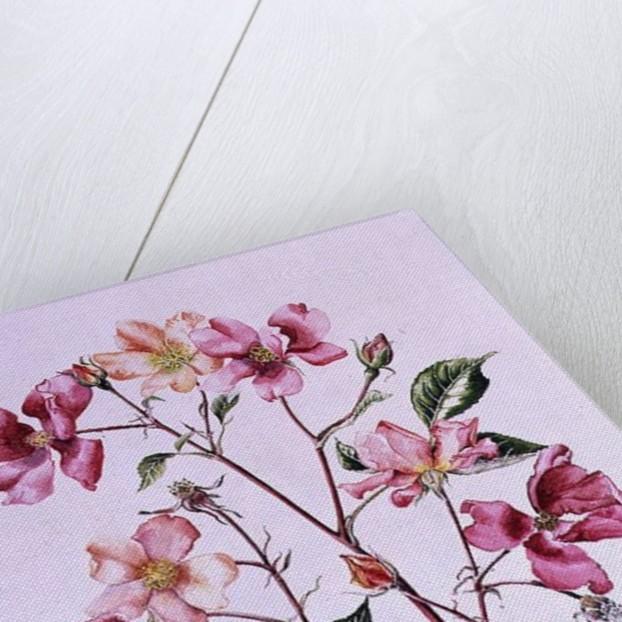 Rosa 'Mutabilis' by Alison Cooper