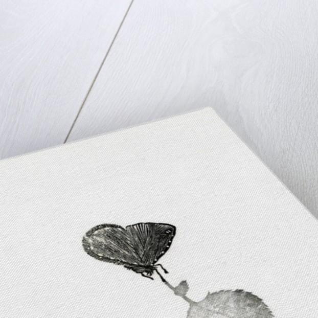 Katsura, Benmore by Bella Larsson