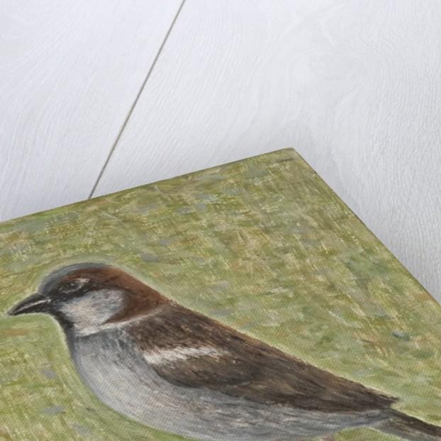 House Sparrow by Ruth Addinall