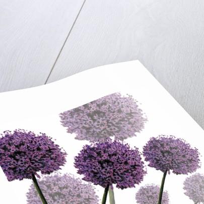 Allium Fernandez, 2004 by Sarah Hough