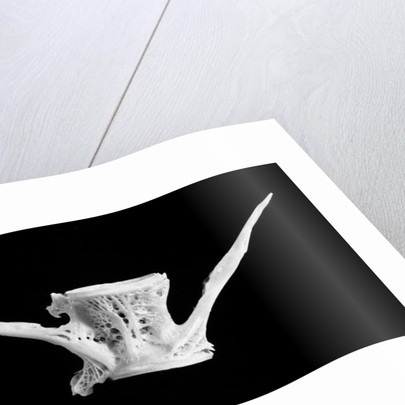 fish bone by Jim Occi