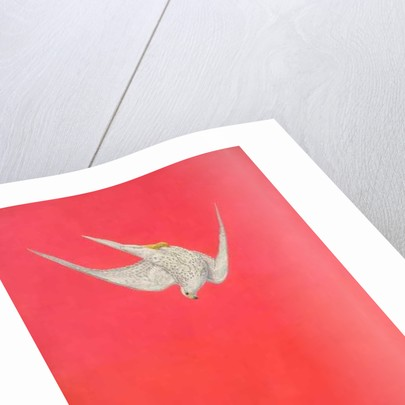 Gyr Falcon by Tim Hayward