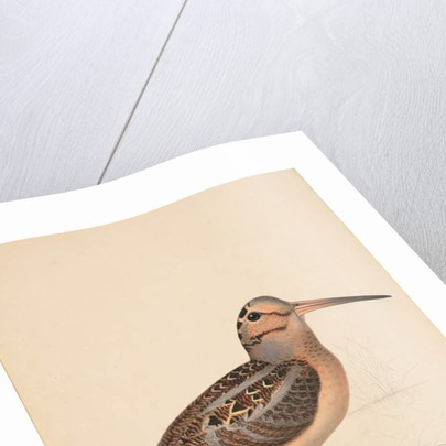 Woodcock, 1841 by Isaac Sprague