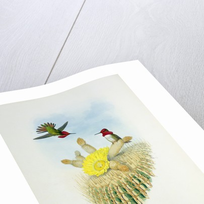 Humming Bird, engraved by Walter and Cohn by John & Richter