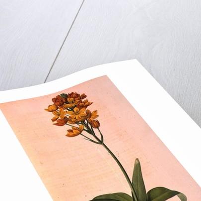 Ornithogalum Aureum by Pierre Joseph Redoute