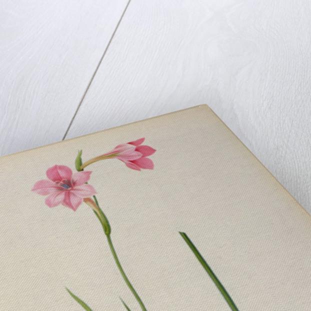 Gladiolus Hirsulus by Pierre Joseph Redoute