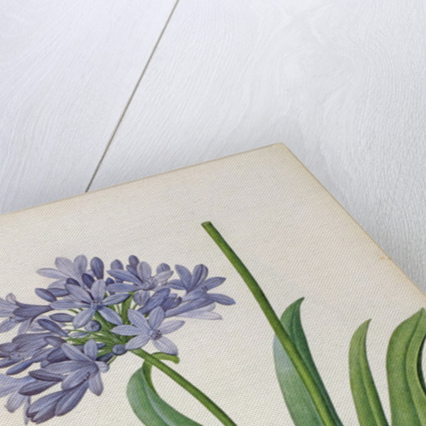 Agapanthus umbrellatus by Pierre Joseph Redoute