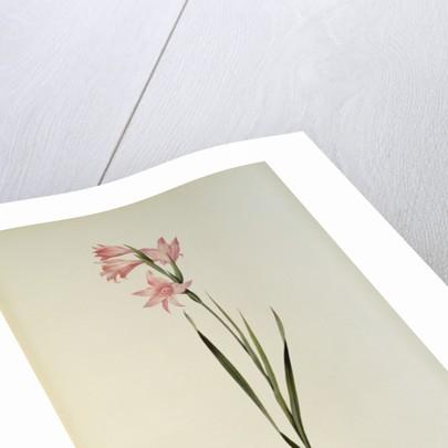 Gladiolus Carneus by Pierre Joseph Redoute