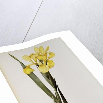 Iris Monnieri by Pierre Joseph Redoute