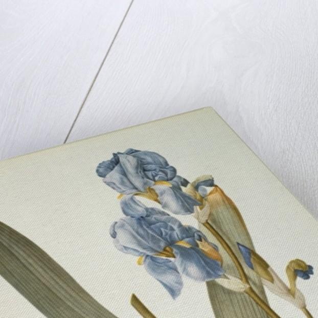 Iris Pallida by Pierre Joseph Redoute