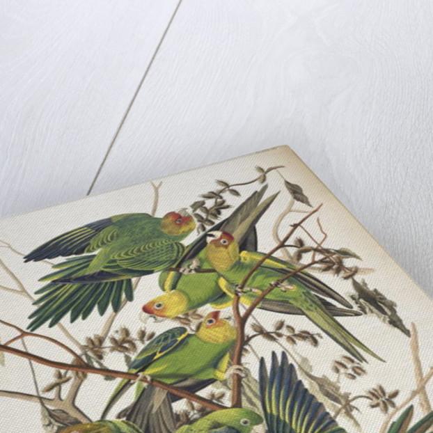 Carolina Parakeet by John James Audubon