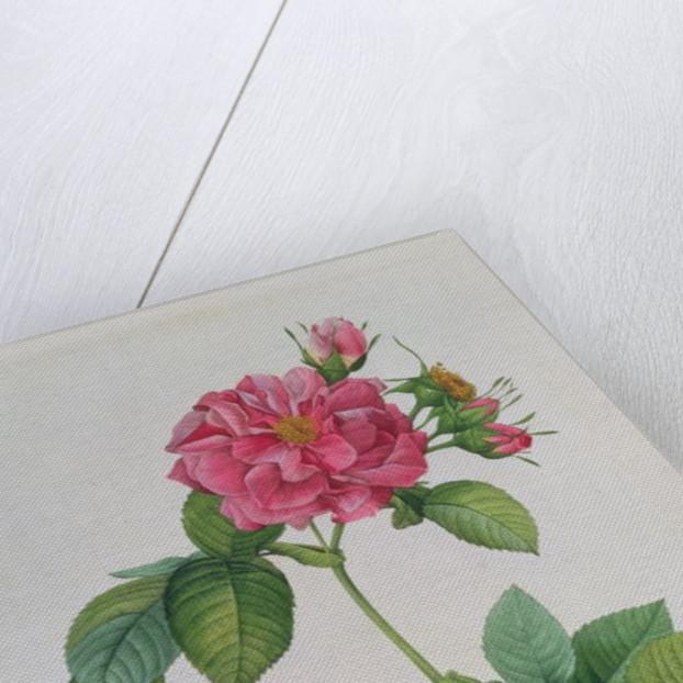 Rosa Turbinata by Pierre Joseph Redoute
