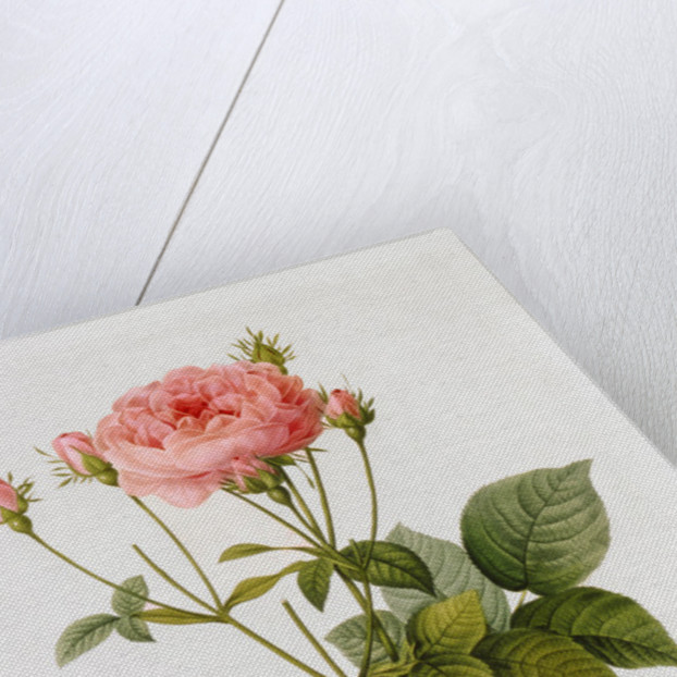 Rosa Gallica Granatus by Pierre Joseph Redoute