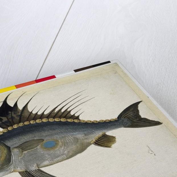 Fish by Jacopo Ligozzi