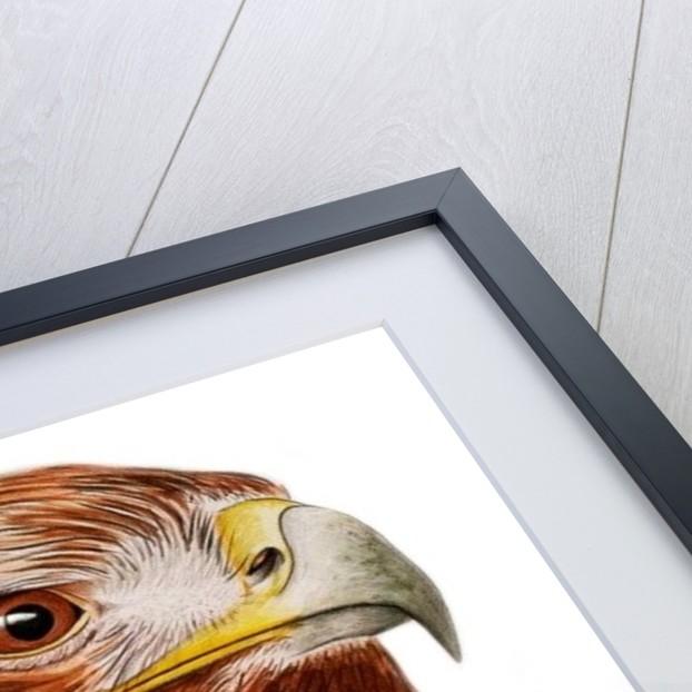 Golden Eagle by Ele Grafton