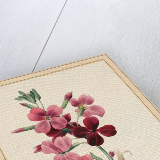 Matthiola, Stock, 1826 by Louise D'Orleans