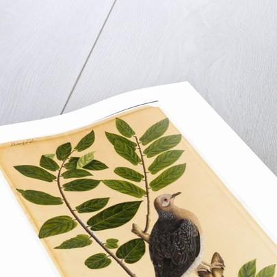 A Turtur by Indian School