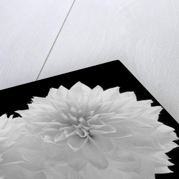 Dahlia Dramaticus, 2008 by Hiroyuki Arakawa