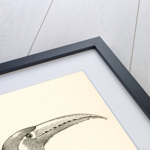 The aracari or araçari, Pteroglossus aracari by Anonymous