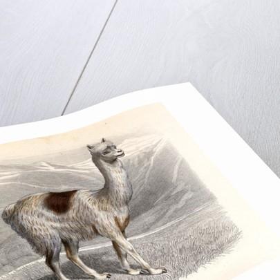 The Llama, engraved by E. Ramus by H. Gobin
